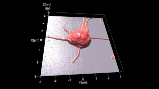 Topography image of human platelet acquired at room temperature